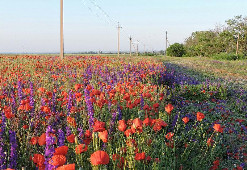 Цветущее поле вдоль дороги