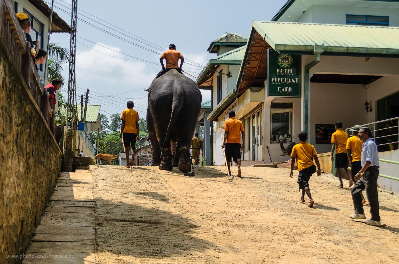 Фотография 11. Я же говорил, что черный слон - живой! В приюте Pinnawela Elephant Orphanage за слониками заботятся! Отчет о поездке по Шри-Ланке на арендованной машине в мае. Отзывы туристов