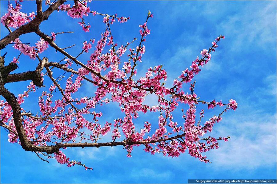 Цветение крымских персиков