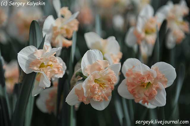 Narcissus Pink Wonder.JPG
