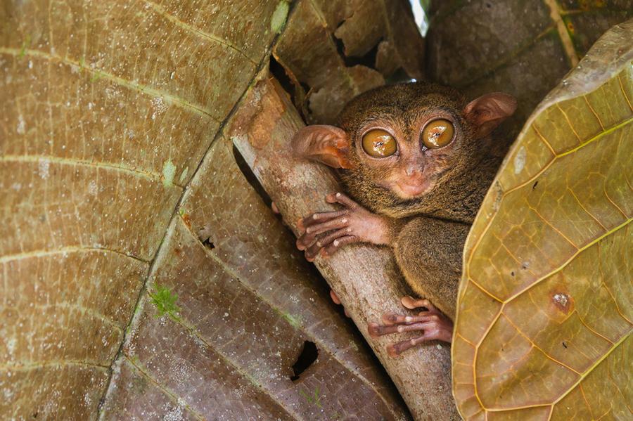 4. Долгопят Долгопяты выделяются своими огромными глазами, которые в диаметре могут достигать 16 мил
