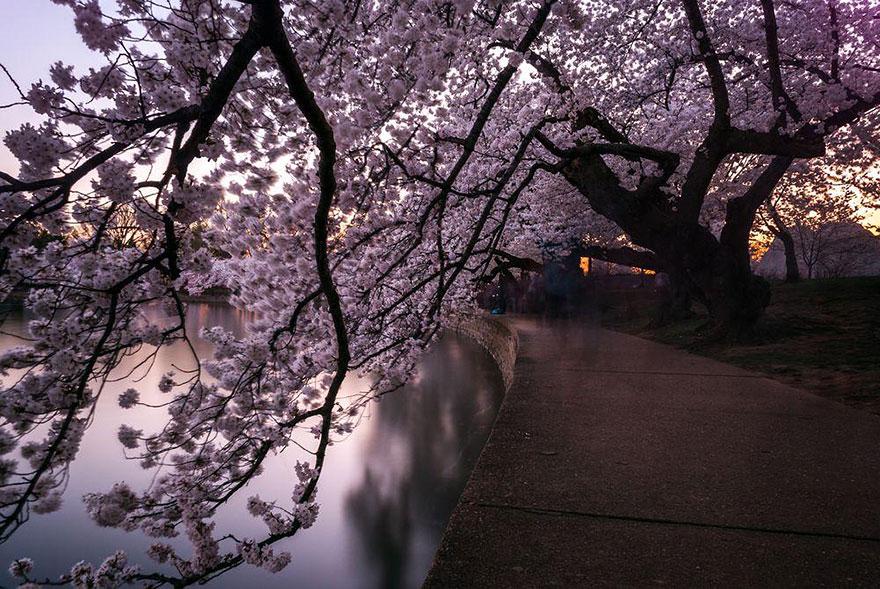 Особый расцвет ханами связан с эпохой Токугава, когда власти приказали сажать сакуру в Японии повсем
