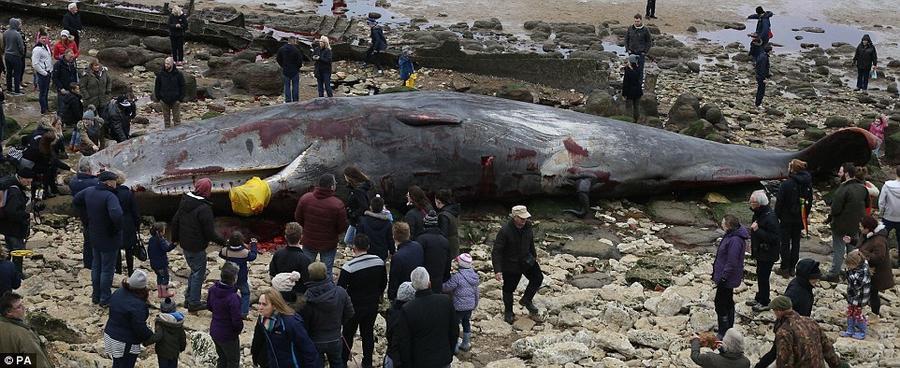19. Этот кашалот погиб, оказавшись на мелководье в Ханстантоне, Норфолк, Великобритания.