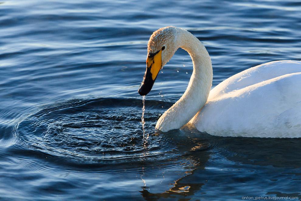 7. Постоянно прилетали новые белоснежные ребята. Лебедей оказалось сложно снимать. Не знаю поче