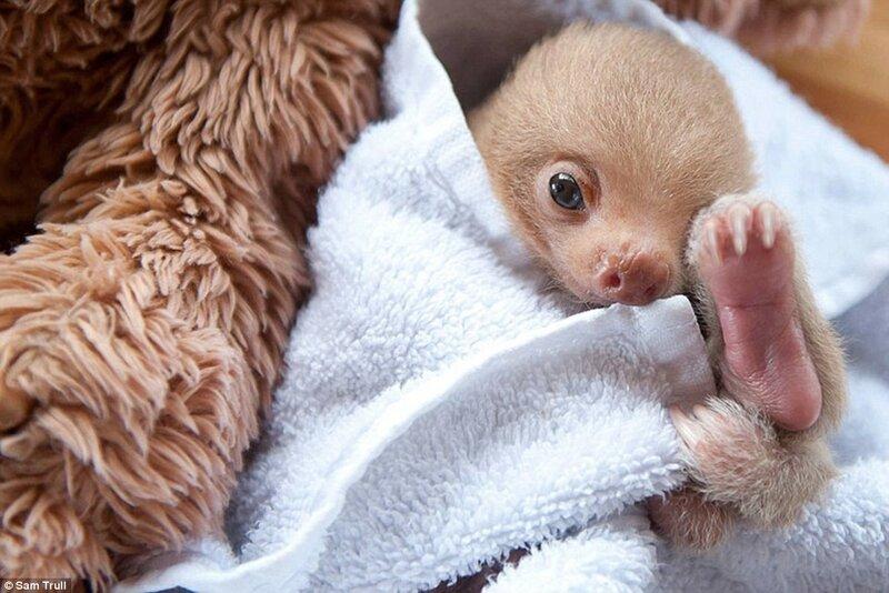 Один из многочисленных ленивцев, находящихся под опекой волонтёров в Институте ленивцев в Коста-Рике. У малыша не было бы шансов выжить, если бы он остался в дикой природе.