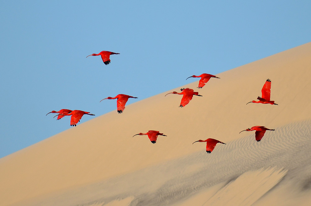 Flight of the scarlet ibis , Jonathan Jagot, France. Young Wildlife Photographers:? 15–17 years old,