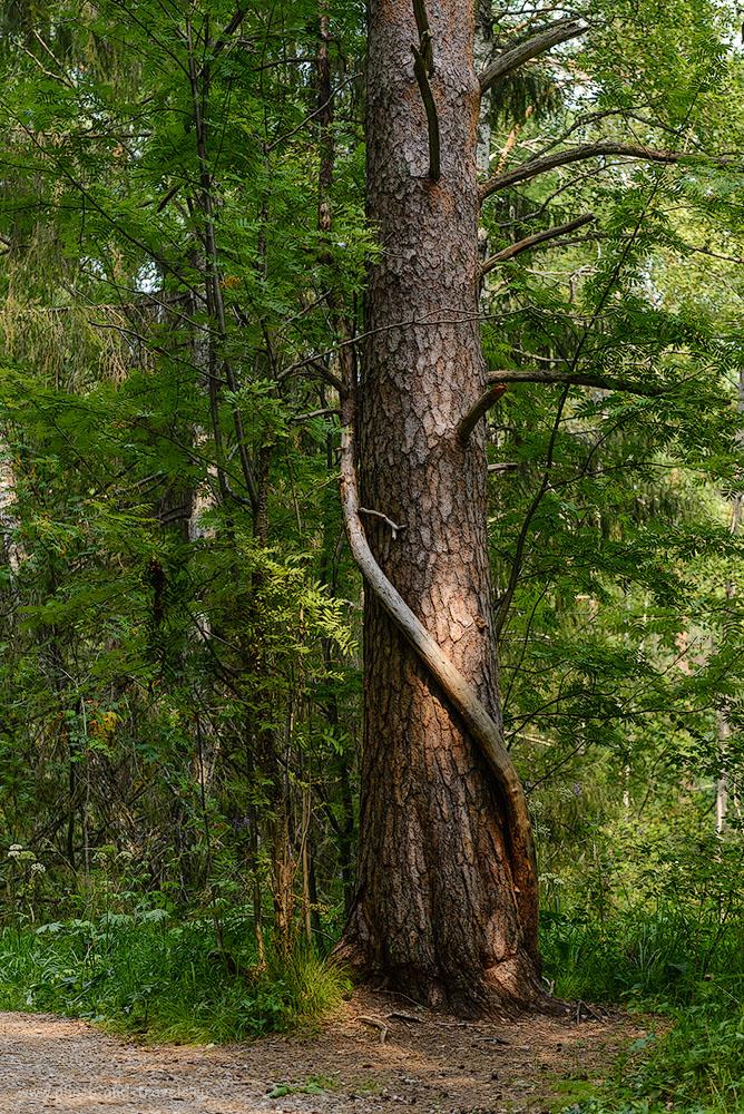 Фотография 4. Помните песню про рябину, что мечтала перебраться к дубу? В Оленьих ручьях некоторым деревьям удалось воссоединиться, чтобы «вместе гнуться и качаться…» 1/400, -0.67, 2.8, 320, 70.