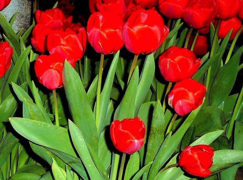 Из мира апрельских тюльпанов.JPG