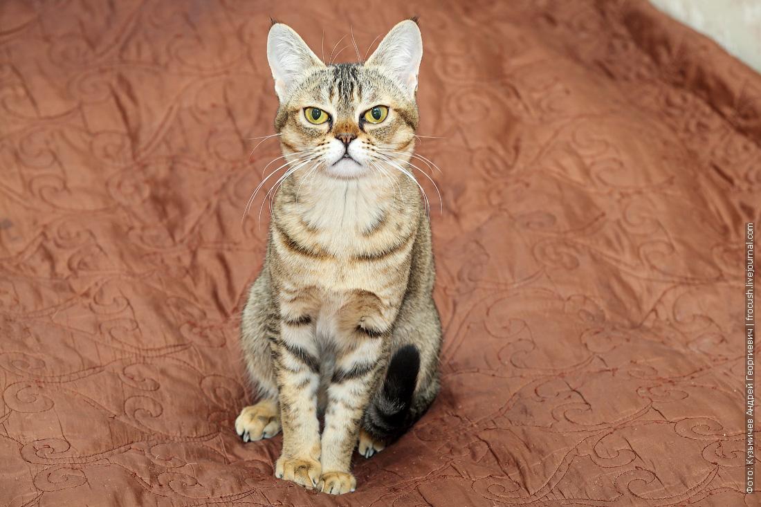 Бомбейская кошка нетрадиционного окраса черный тикированный