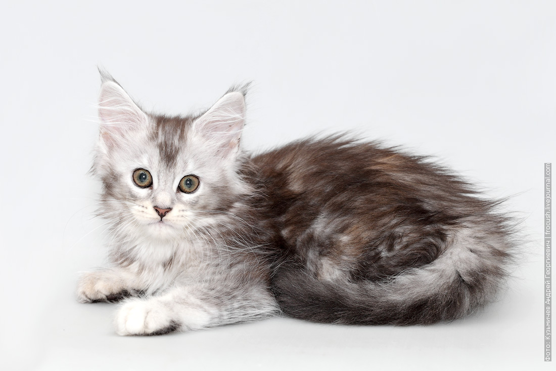 мейн кун котенок кошка
