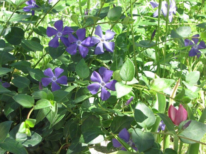 барвинок и тюльпан