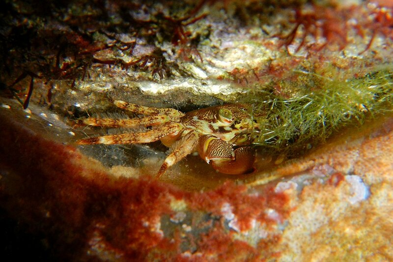 Мраморный краб (Pachygrapsus marmoratus) прячется в расщелине между камней под водой в бухте Омега на Чёрном море, Севастополь, Крым