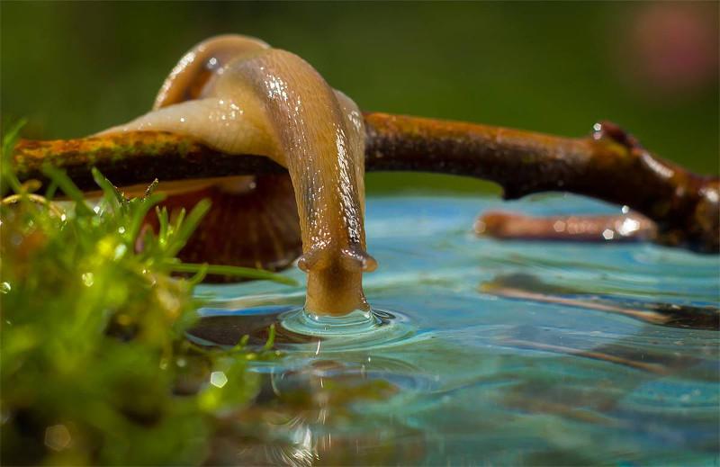 улитка пьет воду