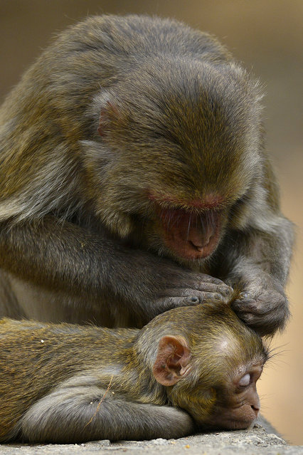 A mother monkey looks for insects in her baby's head on the occasion of World Wildlife Day cele