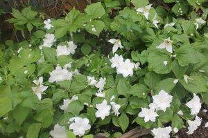 Весенне цветущие - Страница 11 0_12de40_bddb6562_M