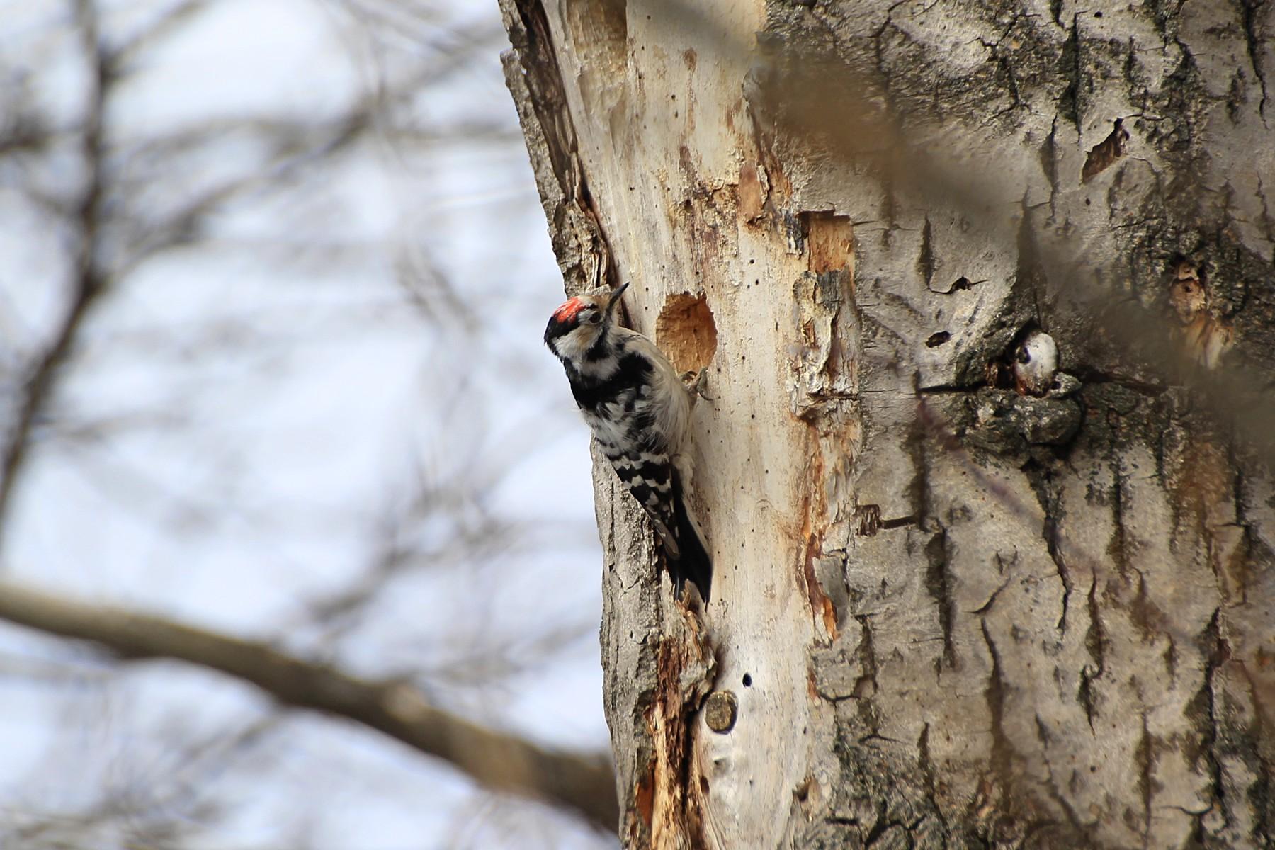 Малый пестрый дятел знает толк в старых деревьях. Фото — М.Соколов