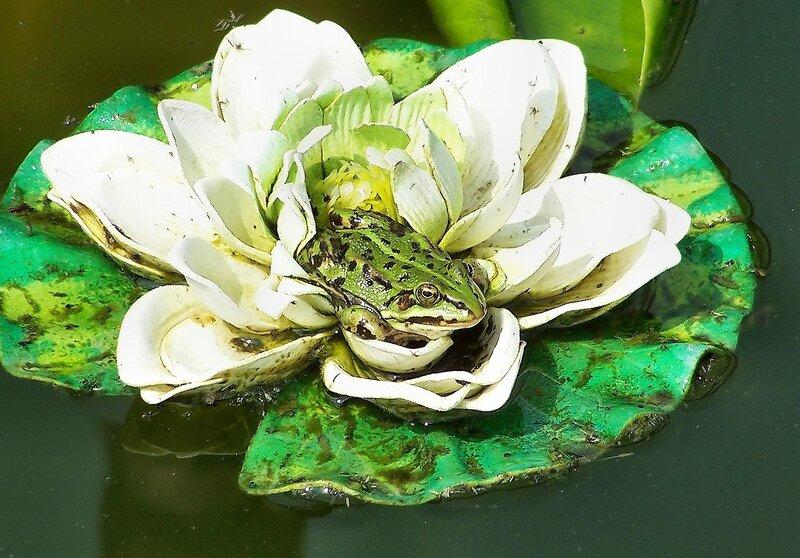 царевна лягушка.