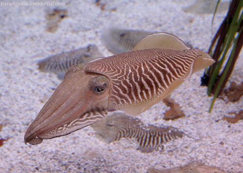 Sepia officinalis L - каракатица, сепия, отряд Cephalopoda - головоногие моллюски/в Барселонском океанариуме