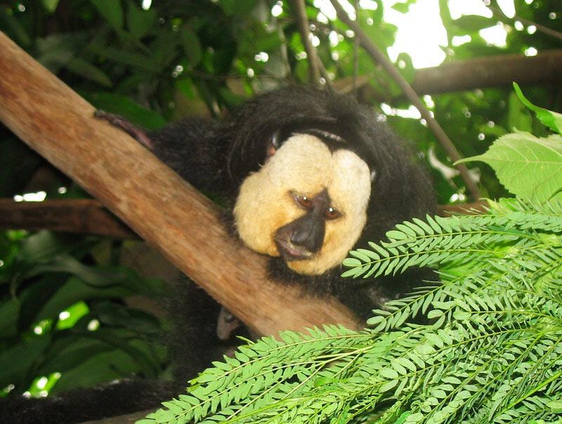 широконосый обезьяны