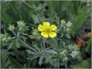 c:желтые,s:травянистые,корневище толстое,i:многолетние,i:лекарственные,лепестков 5,околоцветник актиноморфный
