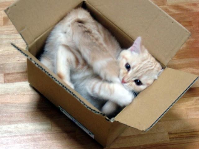 Почему коты и кошки любят коробки и пакеты: причины такого поведения, почему им нравится там сидеть