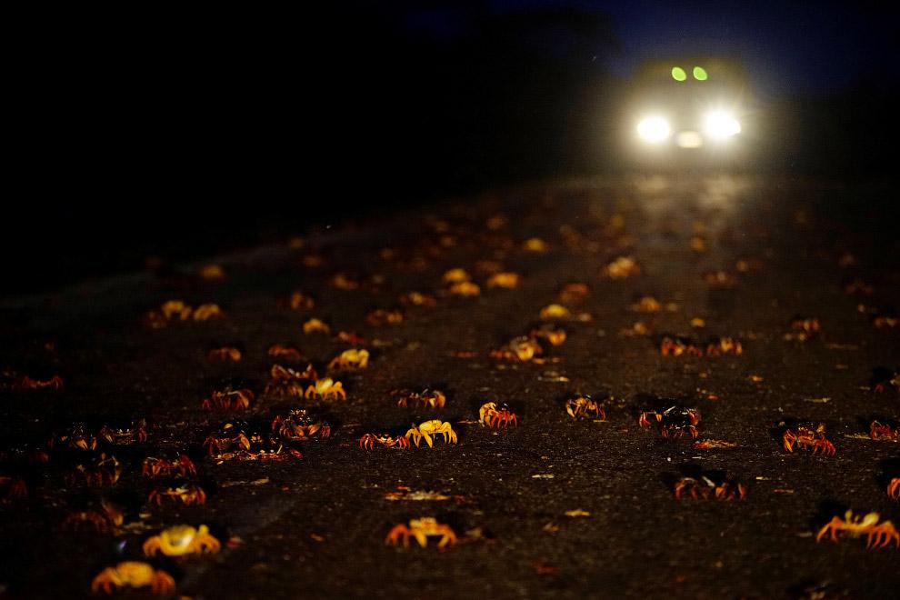 5. По пути крабиков ждут и другая опасность — хищники. (Фото Alexandre Meneghini | Reuters):