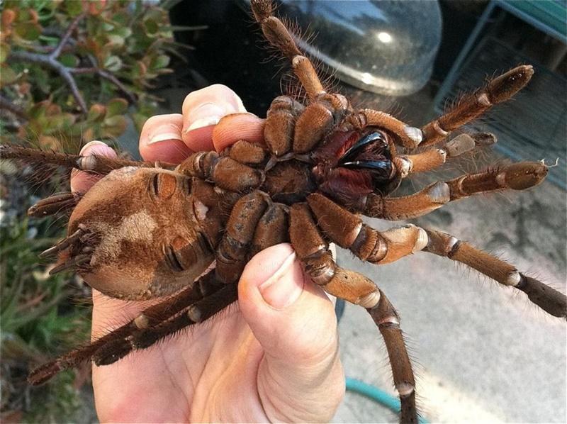 Паук-птицеед, самый большой паук в мире