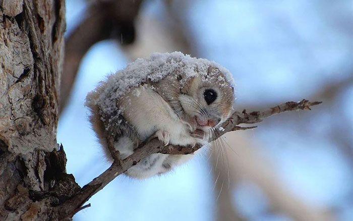 Японские или сибирские белки-летяги