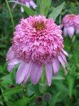 Echinacea Secret Affair (5).JPG