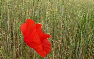Мак полевой (Papaver rhoeas)