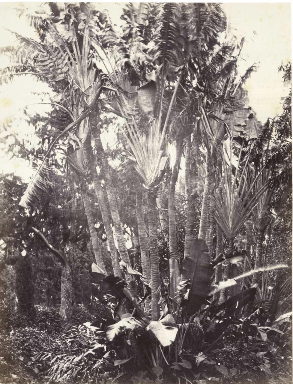24. Равенала, дерево путешественников