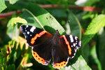 Адмирал - бабочка перелетная