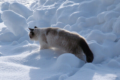 Улисс — «Типичный полярный кот...» на Яндекс.Фотках