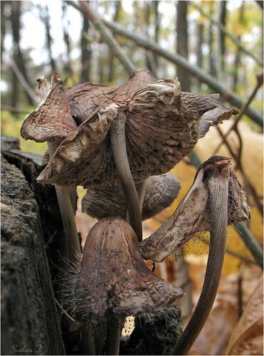 Мицена полосатоножковая (Mycena polygramma) Автор фото: Татьяна Светлова