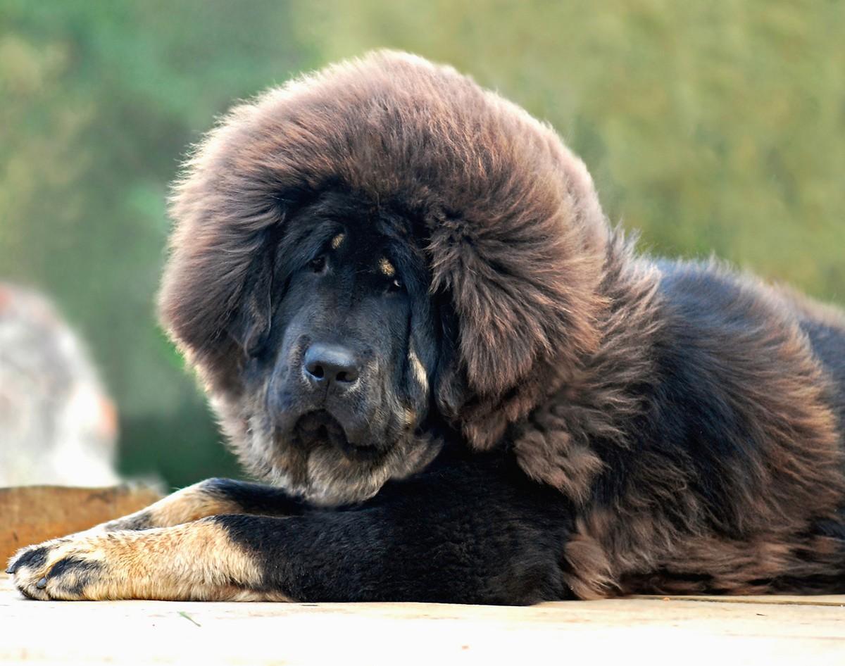 7. Тибетский мастиф. Стоимость — от 2200 до 7000 долларов. (mastino0100)