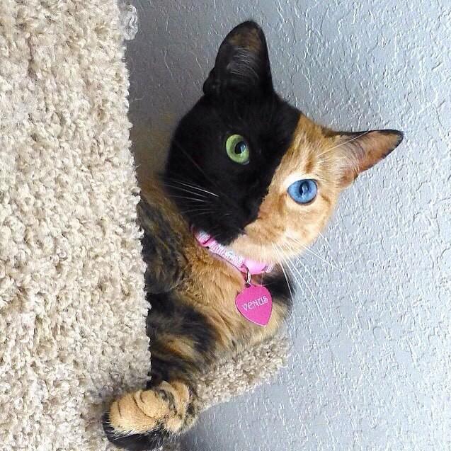 Этот кот действительно двухцветный, и цвета действительно распределяются так. Родившаяся в 2009 году