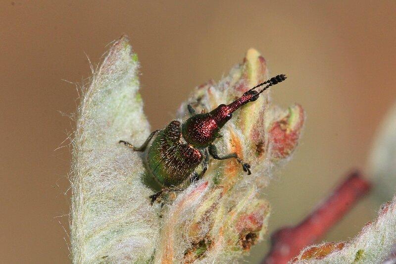 Металлически блестящий жук Вишнёвый слоник (лат. Epirhynchites auratus) на почке ирги переливается оттенками красного и зелёного цвета