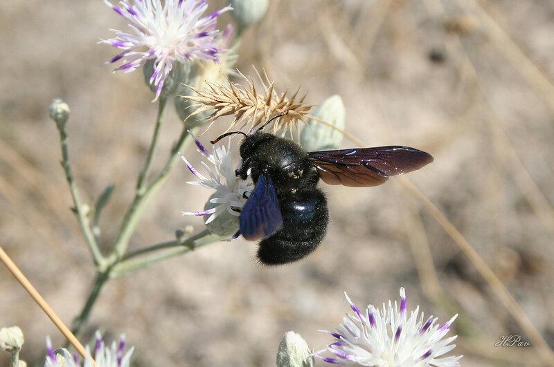 Пчела-плотник фиолетовая (лат. Xylocopa violacea)
