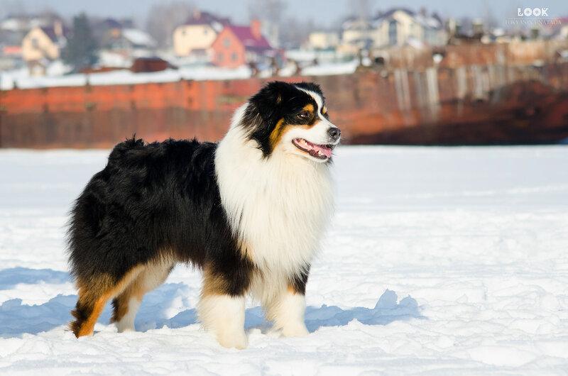 Мои собаки: Зена и Шива и их друзья весты - Страница 9 0_a841f_925d24a2_XL
