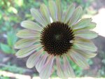 Echinacea  Caribbean Green (3).JPG