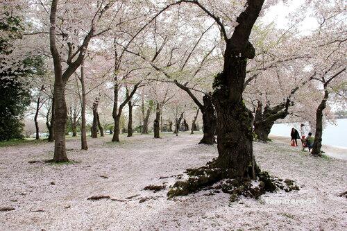 Цветение сакуры в Вашингтоне