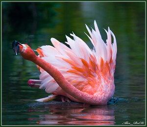Карибский фламинго