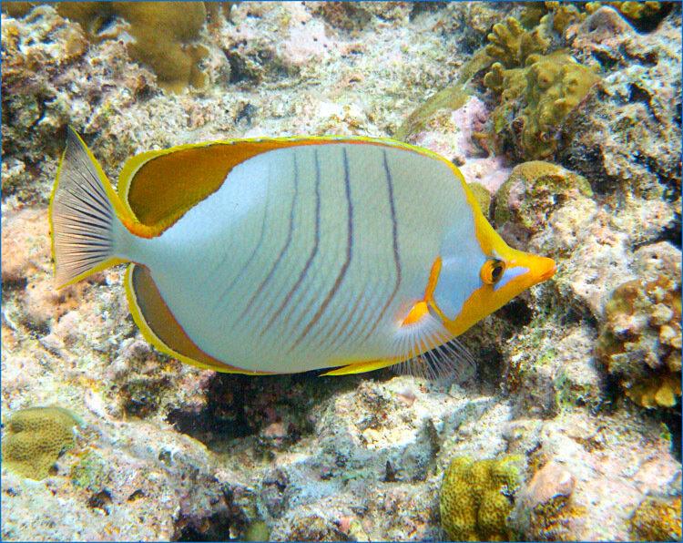 Рыба-бабочка (Chaetodon xanthocephalus)