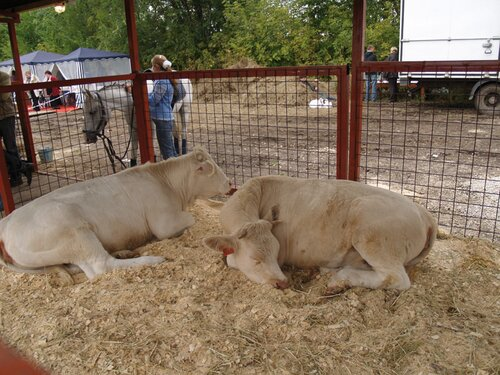 Стрёмные белые коровы