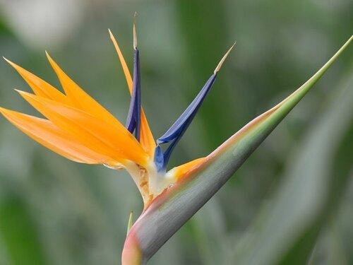 Теги флористика цветы стрелиция