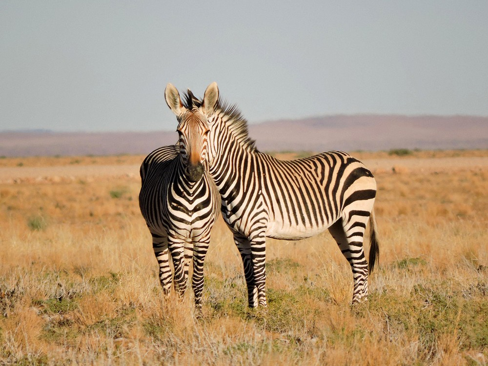 DOUBLE HEADED ZEBRA