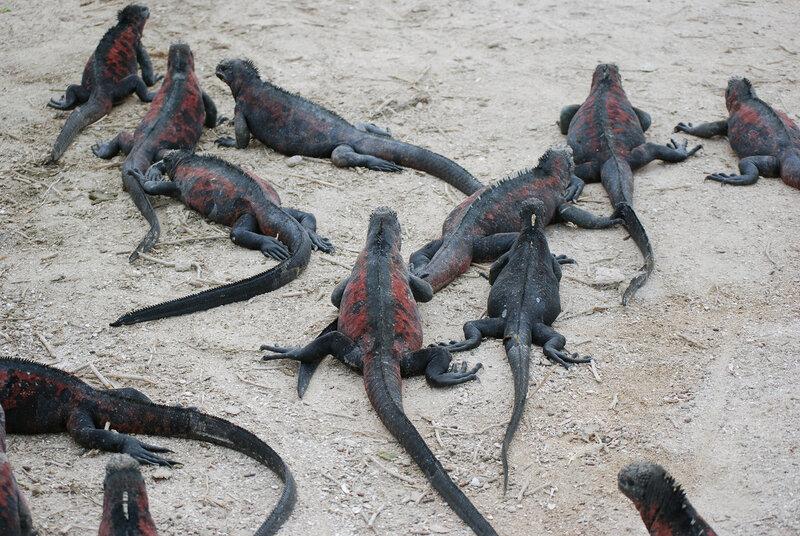 Punta Suбrez,  Isla Espaсola / Marine Iguana
