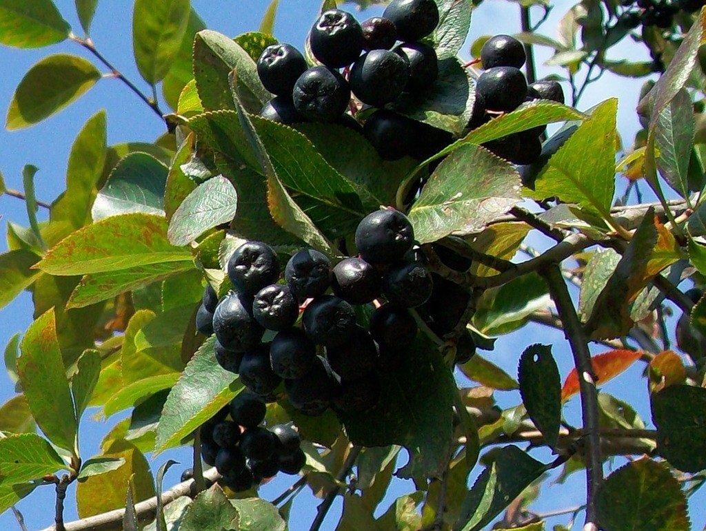 посадка черноплодной рябины