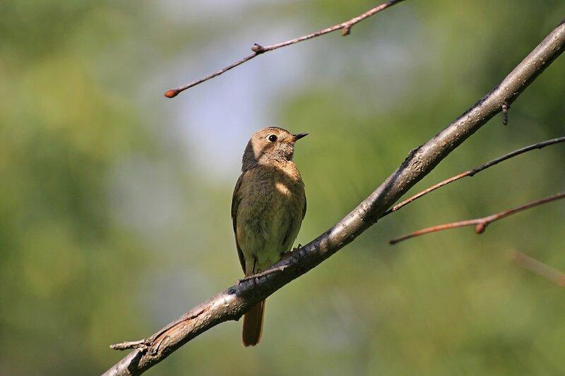 Горихвостка обыкновенная, самка (Phoenicurus phoenicurus, или садовая горихвостка, или горихвостка-лысушка). Небольшая серая птичка с ярким рыжим, постоянно покачивающимся хвостом.