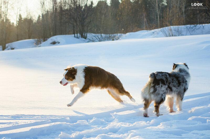 Мои собаки: Зена и Шива и их друзья весты - Страница 9 0_a854b_55c4e461_XL